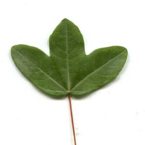 - Acer monspessulanum L. [1753]