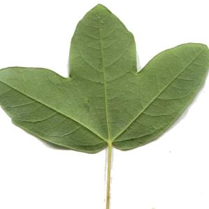 Photographie n°158091 du taxon Acer monspessulanum L. [1753]