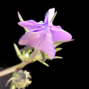 Photographie n°158094 du taxon Legousia speculum-veneris (L.) Chaix