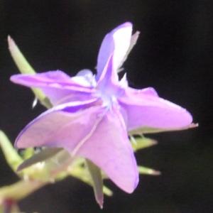 Photographie n°158095 du taxon Legousia speculum-veneris (L.) Chaix