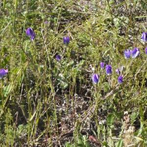 Photographie n°158101 du taxon Legousia speculum-veneris (L.) Chaix