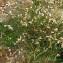 Bernard Andrieu - Silene vulgaris subsp. vulgaris