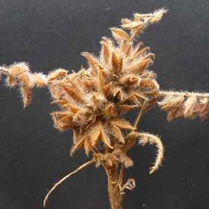 Photographie n°158207 du taxon Astragalus stella Gouan