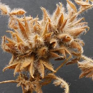 - Astragalus stella Gouan