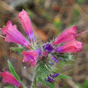Echium vulgare var. pustulatum (Sm.) Coincy (Vipérine)