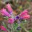 Bertrand BUI - Echium vulgare var. pustulatum (Sm.) Coincy