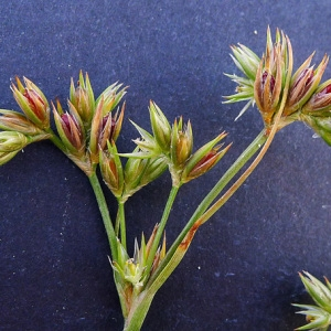 Juncus pygmaeus Rich. ex Thuill. (Jonc nain)