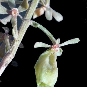 Reseda phyteuma L. [1753] (Réséda raiponce)