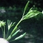 Liliane Roubaudi - Ranunculus arvensis L.