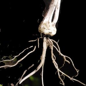 Photographie n°158342 du taxon Ranunculus bulbosus L. [1753]
