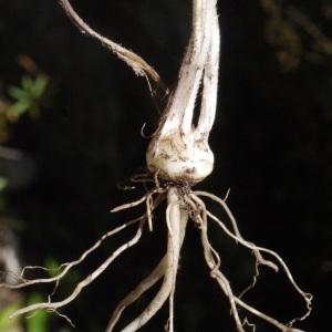 Photographie n°158343 du taxon Ranunculus bulbosus L. [1753]