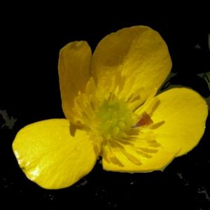 Photographie n°158348 du taxon Ranunculus bulbosus L. [1753]
