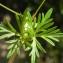 Liliane Roubaudi - Geranium columbinum L.
