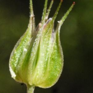 Photographie n°158354 du taxon Geranium columbinum L.