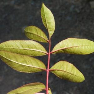 Pistacia x saportae Burnat (Pistachier de Saporta)
