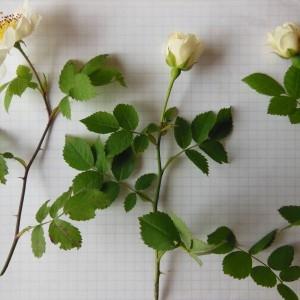 Photographie n°158419 du taxon Rosa arvensis Huds. [1762]