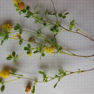 Photographie n°158440 du taxon Trifolium campestre Schreb. [1804]