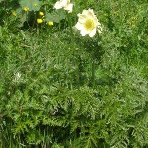 Photographie n°158586 du taxon Pulsatilla alpina subsp. apiifolia (Scop.) Nyman [1878]