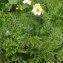 Liliane Roubaudi - Pulsatilla alpina subsp. apiifolia (Scop.) Nyman