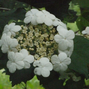 Photographie n°158667 du taxon Viburnum opulus L. [1753]