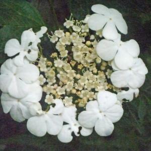 Photographie n°158668 du taxon Viburnum opulus L. [1753]