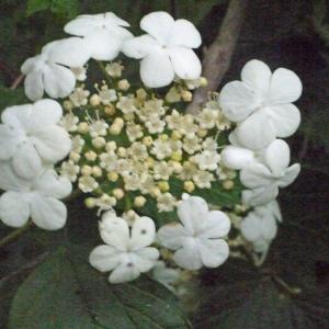 Viburnum opulus L. (Obier)