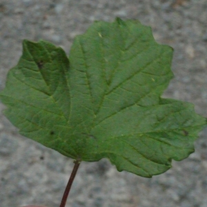 Photographie n°158674 du taxon Viburnum opulus L. [1753]