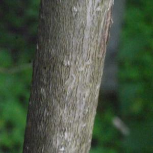 Photographie n°158675 du taxon Viburnum opulus L. [1753]