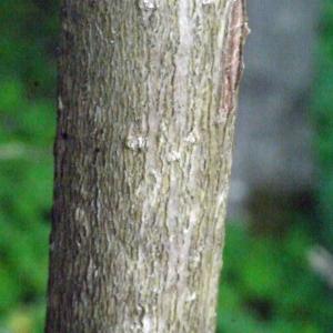 Photographie n°158676 du taxon Viburnum opulus L. [1753]