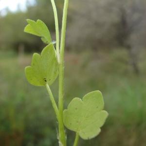 - Ranunculus sardous Crantz