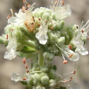 Teucrium dunense Sennen (Germandrée des dunes)