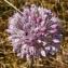 Bertrand BUI - Allium polyanthum Schult. & Schult.f.