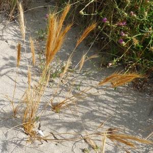 - Vulpia fasciculata (Forssk.) Fritsch