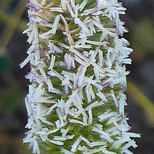 Photographie n°158842 du taxon Phleum arenarium L. [1753]