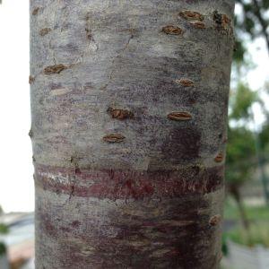 Photographie n°158930 du taxon Prunus avium (L.) L. [1755]