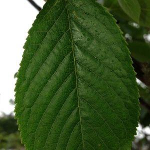 Photographie n°158937 du taxon Prunus avium (L.) L. [1755]