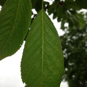 Photographie n°158938 du taxon Prunus avium (L.) L. [1755]