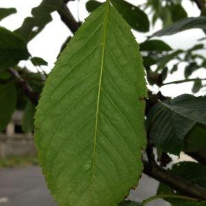 Photographie n°158940 du taxon Prunus avium (L.) L. [1755]