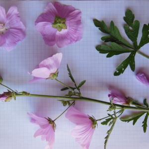 Photographie n°158986 du taxon Malva alcea L. [1753]