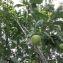Hervé GOËAU - Prunus domestica L. [1753]