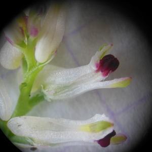 - Fumaria parviflora Lam. [1788]