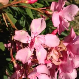 Photographie n°159087 du taxon Nerium oleander L. [1753]