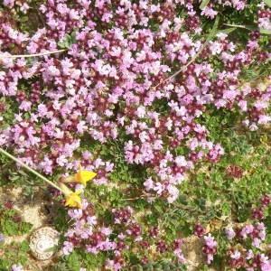 Photographie n°159131 du taxon Thymus serpyllum L. [1753]