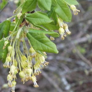 Photographie n°159243 du taxon Acer monspessulanum L. [1753]