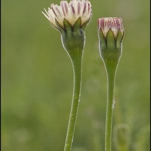 - Urospermum dalechampii (L.) Scop. ex F.W.Schmidt [1795]