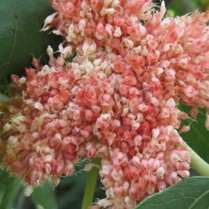 Ficus carica L. (Figuier)