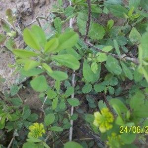 Photographie n°159294 du taxon Trifolium campestre Schreb. [1804]