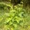 Florent Beck - Cirsium oleraceum (L.) Scop.