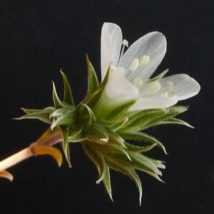 - Arenaria aggregata (L.) Loisel. [1827]