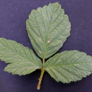 Photographie n°159361 du taxon Rubus canescens DC.